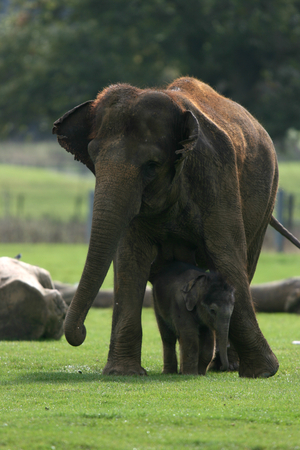 zoological: Mother and six week old baby elephant at Zoological Society of London, Whipsnade Zoo near Dunstable, Bedfordshire, England Stock Photo