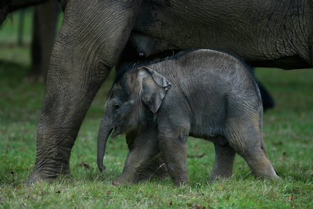 Mother and six week old baby elephant at Zoological Society of London, Whipsnade Zoo near Dunstable, Bedfordshire, England photo