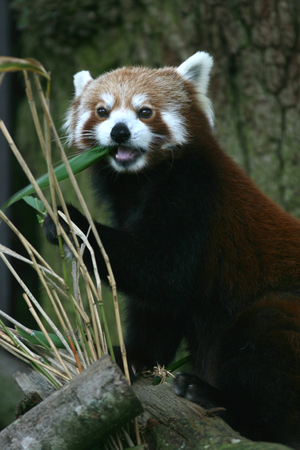 zoological: Red panda at Zoological Society of London, Whipsnade Zoo near Dunstable, Bedfordshire, England Stock Photo