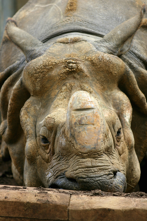 zoological: Rhinoceros at Zoological Society of London, Whipsnade Zoo near Dunstable, Bedfordshire, England Stock Photo