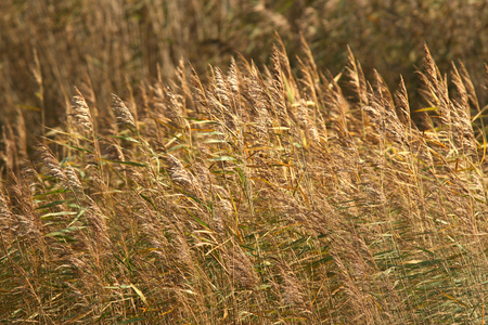 breeze: Grasses sway in the breeze and sunshine at RSPB Minsmere nature reserve, Saxmundham, Suffolk, England