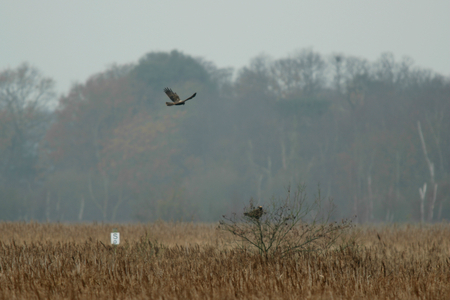 suffolk: Marsh hariers above the reedbeds, RSPB Minsmere nature reserve, Saxmundham, Suffolk, England Stock Photo