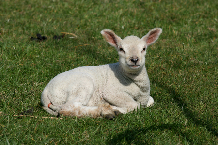 essex: Young lamb, near Rivenhall, Witham, Essex, England Stock Photo