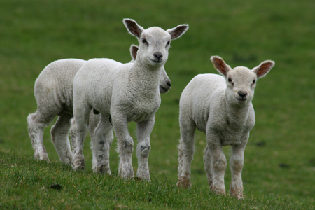 Young lambs, near Rivenhall, Witham, Essex, England photo