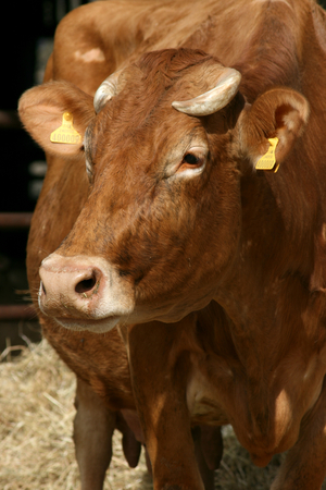 essex: Jersey cow at a farm yard in Weathersfield, Essex, England Stock Photo