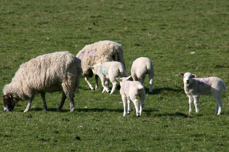 ewes: Young lambs and ewes, near Thaxted, Essex, England Stock Photo