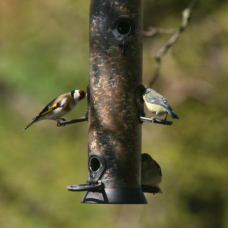 hyde: Goldfinch and blue tit birds feed from bird feeder at RHS Hyde Hall, Rettendon, Chelmsford, Essex, England