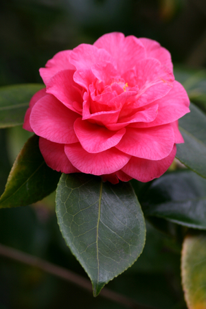 hyde: Red camelia at RHS Hyde Hall, Rettendon, Chelmsford, Essex, England