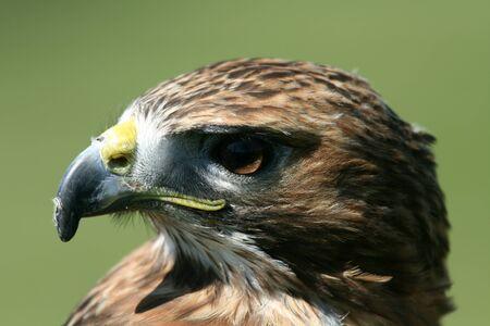 Head of red tailed buzzard bird of prey