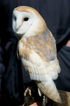 held: Barn owl held on leather gauntlet Stock Photo