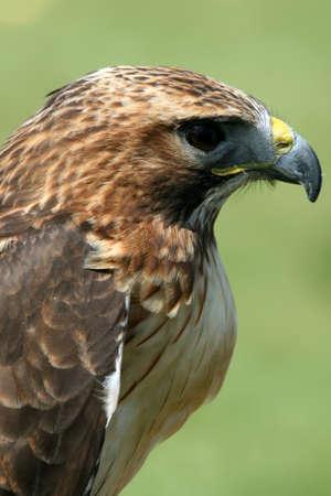 bird of prey: Head of red tailed buzzard bird of prey