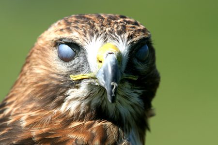 and eyelid: Head of red tailed buzzard bird of prey showing third eyelid