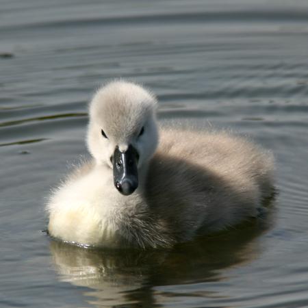 signet: Mute swan signet RSPB Rye Meads Hoddesdon Hertfordshire England Stock Photo