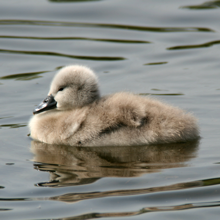 signet: Sello Cisne mudo RSPB Rye Meads Hoddesdon Hertfordshire Inglaterra