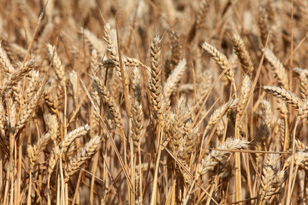 essex: Wheat ripening in the summer sun Rivenhall Essex England