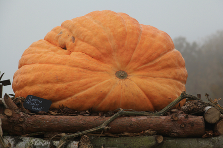 Atlantic Giant pumpkin at RHS Hyde Hall, Essex, England Stock Photo