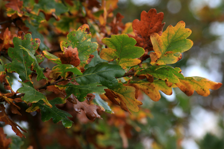 hyde: Autumn oak leaves changing colours at RHS Hyde Hall, Essex, England