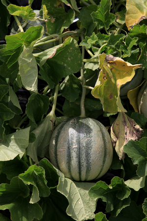 hyde: Melon growing at RHS Hyde Hall, Essex, England