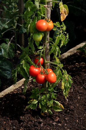 hyde: Tomatoes ripening on the vine at RHS Hyde Hall, Essex, England