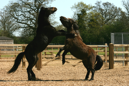 rearing: Two horses rearing at each other at Ada Cole Rescue Centre, Redwings Horse Sanctuary, Broadley Common, nr Nazeing, Essex, England Stock Photo