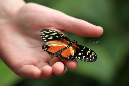hand butterfly: Heceles longwing butterfly on childs hand, Butterfly World, Isle of Wight, England Stock Photo