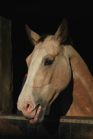 palomino: Palomino coloured horse with head over stable door in evening sunshine
