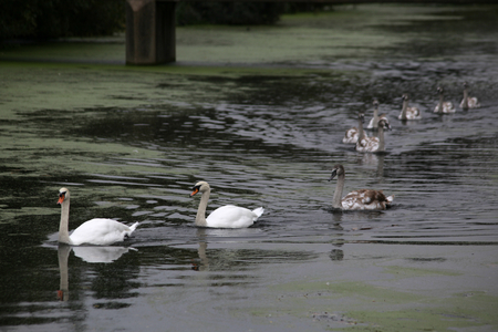 nine: Family of nine swans on River Can, Chelmsford, Essex, England