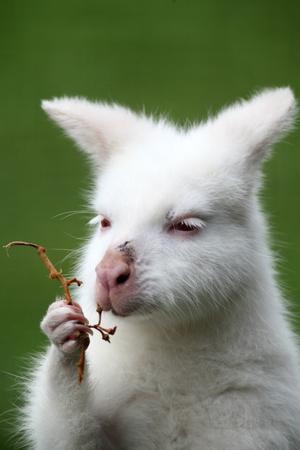 albino: Albino Red Necked Wallaby, Linton Zoo, Linton, Cambridgeshire, England Stock Photo