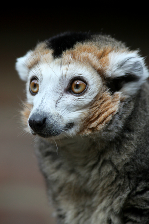 cambridgeshire: Crowned Lemur, Linton Zoo, Linton, Cambridgeshire, England Stock Photo