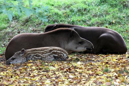 Family of Brazilian Tapirs, Linton Zoo, Linton, Cambridgeshire, England