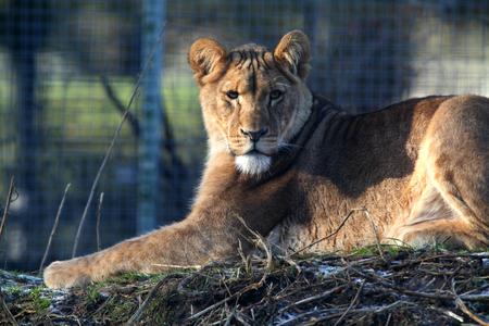 African Lion Cub, Linton Zoo, Linton, Cambridgeshire, England