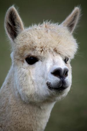 Head portrait of white alpaca