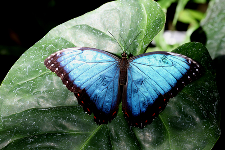 horticultural: Blue Morpho butterfly, Butterflies in The Glasshouse, RHS Wisley, Surrey
