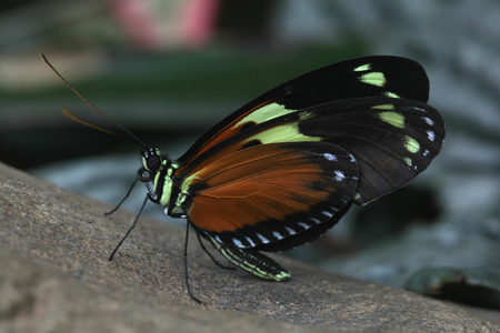 Tiger Longwing butterfly, Butterflies in The Glasshouse, RHS Wisley, Surrey