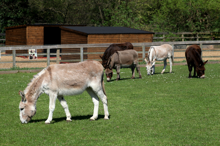Donkies grazing, Ada Cole Rescue Centre, Redwings Horse Sanctuary, Broadley Common, nr Nazeing, Essex, England