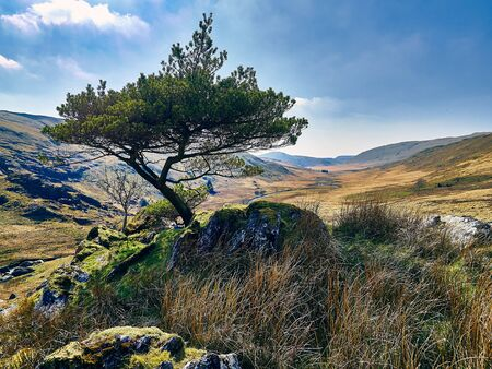 adverse: The Lonesome Pine - A lonesome pine tree growing at the head of a valley in a desolate mountainous part of Wales its growth stunted by adverse weather conditions.