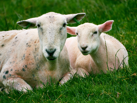 lambing: Sheep - Ewe and Lamb