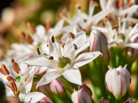 Garlic Chive Flower Imagens