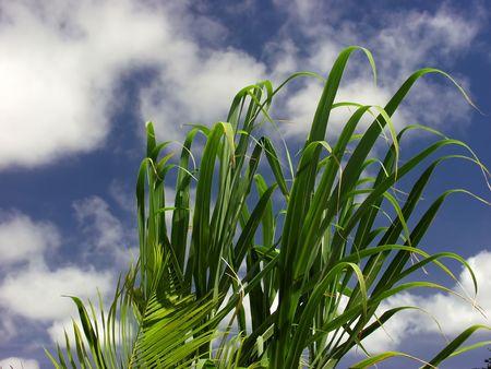 palm leaf whit blue sky background Stock Photo - 539413