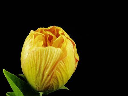 not open: Giallo fiori di ibisco non aprire