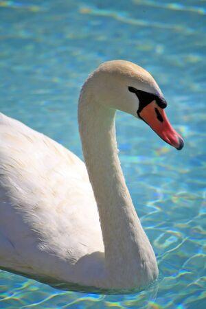 glistening: Blanco cisne en el lago del parque de la ciudad  Foto de archivo