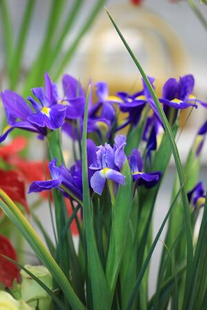 blue iris flower on florist�s with soft background photo