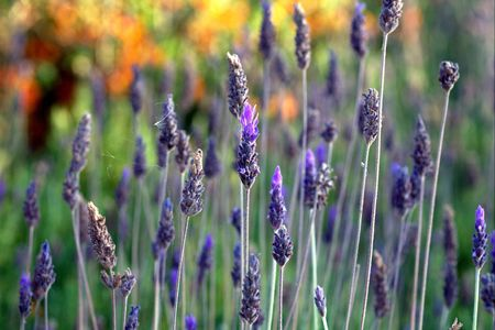 lavender field with orange flower in soft background