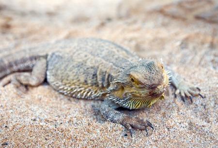 bearded dragon lizard: Bearded Dragon lizard over desert sand