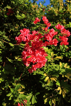a bunch of red and pink bouganvillea flower on a garden wall Stock Photo - 1685503