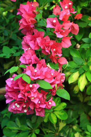 bracts: a bunch of red and pink bouganvillea flower on a garden wall