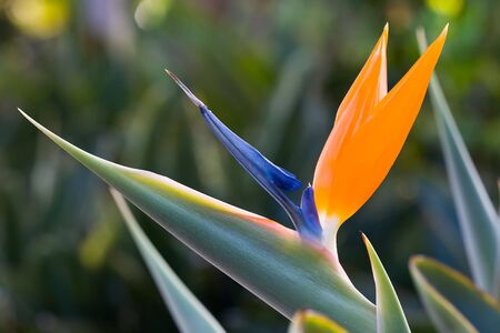 exotic bird of paradise flower and plant on garden photo