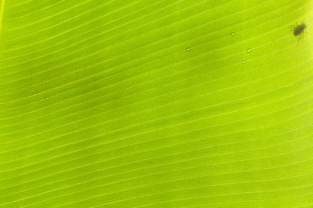 shadow of a fly on banana tree leaf photo