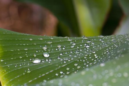 rain water drops on banana tree leaf photo