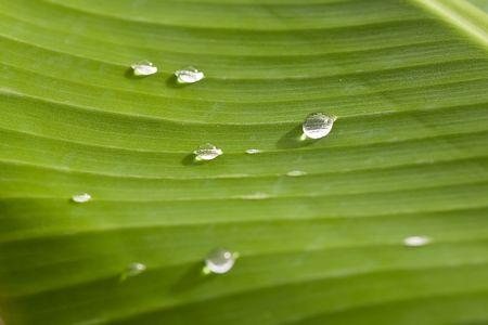 rain water drops on banana tree leaf Stock Photo - 1808906